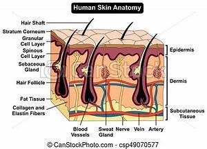 Human Body Skin Anatomy Diagram Infographic Chart Figure