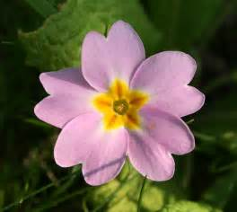 Fleur De by File Primevere Fleur Jpg Wikimedia Commons