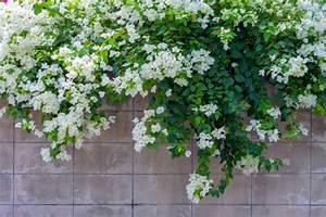 Plantes Grimpantes Mur : comment tailler les plantes grimpantes willemse vous ~ Melissatoandfro.com Idées de Décoration