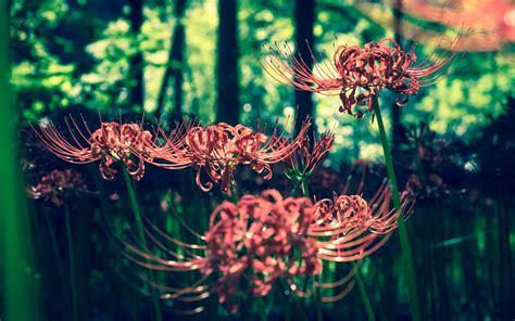 曼珠沙华花开时漂亮好看唯美的花卉电脑超清壁纸图片_桌面壁纸下载_四季图片