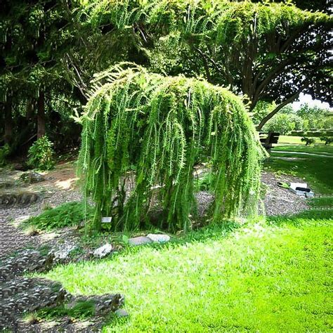 weeping trees weeping larch for sale the tree center