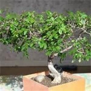 foglie della zelkova Domande e Risposte Bonsai