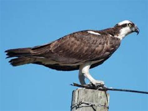 Images Of Osprey 10 Interesting Osprey Facts My Interesting Facts