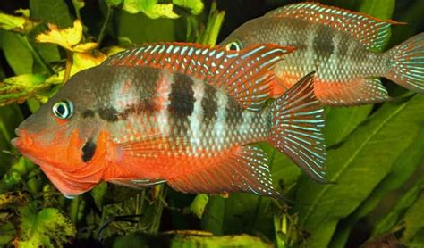 firemouth cichlid diet size lifespan cost care guide