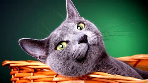 New Cats Wallpapers Download 77 Cute Cat Pics & Hd Images Free