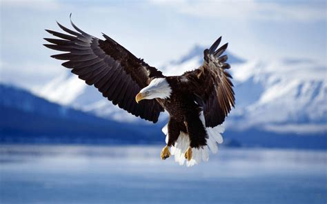 bald eagle  flight alaska wallpapers hd wallpapers