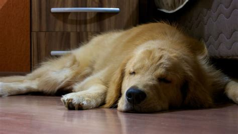 natural ways  relieve  golden retrievers joint pain
