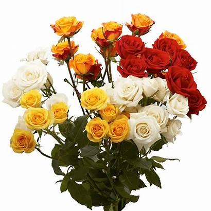 Roses Spray Dozen Wholesale Assorted Globalrose Flowers