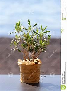 Olivenbaum Im Topf : wenig olivenbaum in einem topf stockfoto bild 52731295 ~ Michelbontemps.com Haus und Dekorationen