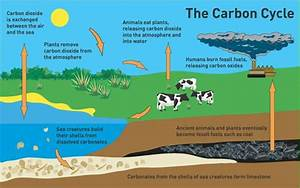 Carbon Cycle By Rania Alaboura