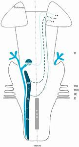 Anatomy Of The Ventral Trigeminothalamic Tract Within The