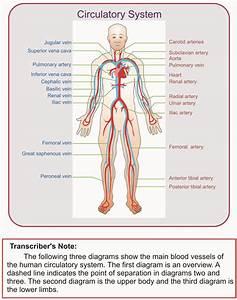 Example  Circulatory System