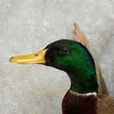 Drake Mallard Duck   1000 x 1000 jpeg 228kB