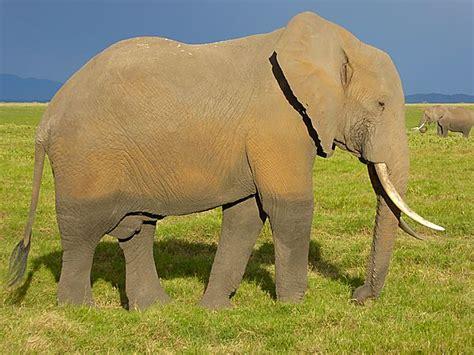 Huge Elephant photo, Amboseli Kenya Africa
