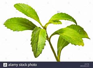 stevia plant support for sugar Stock Photo, Royalty Free ...