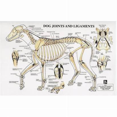 Dog Joints Ligaments Chart Blurred Square