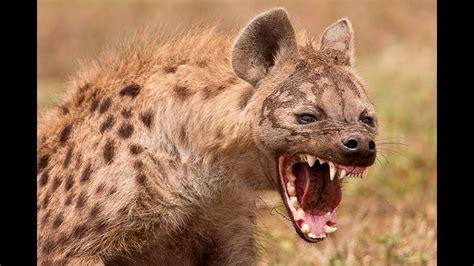 lion  hyene meilleure attaque epilation hd youtube