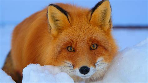 cartoon fox wallpaper wallpapersafari