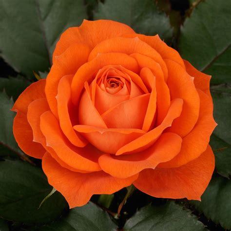 rose jewel orange pohlmans phone