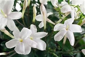 Zimmerpflanze Weiße Blüten : jasmin pflanze pflege schneiden berwintern ~ Markanthonyermac.com Haus und Dekorationen