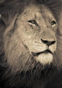 Lion Head Drawings