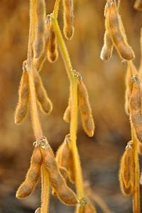 Adam U0026 39 S Soybean Growth Stages Guide
