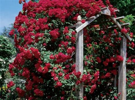 17 Best Images About Roses That Can Climb On Pinterest