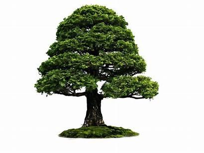Untuk Pohon Tree Gambar Bonsai Cara Pembaca