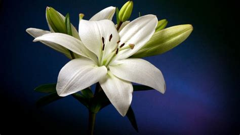 Beautiful White Lily Flower Hd Wallpaper : Wallpapers13.com