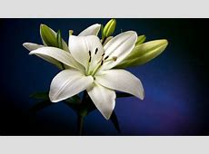 Beautiful White Lily Flower Hd Wallpaper Wallpapers13com