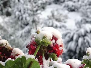 Geranien überwintern Schneiden : geranien berwintern schneiden und pflege plantura ~ Orissabook.com Haus und Dekorationen