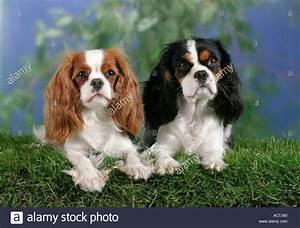 Cavalier King Charles Spaniel Blenheim and tricolor ...