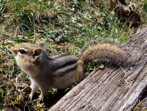 Wild Animals Chipmunk