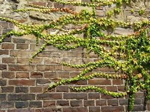 Pflanzen An Der Wand : efeu an der wand stockfoto colourbox ~ Markanthonyermac.com Haus und Dekorationen