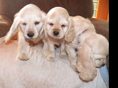 We are available every day. Parti Colored Cocker Spaniel Puppies for Sale | BubaKids.com