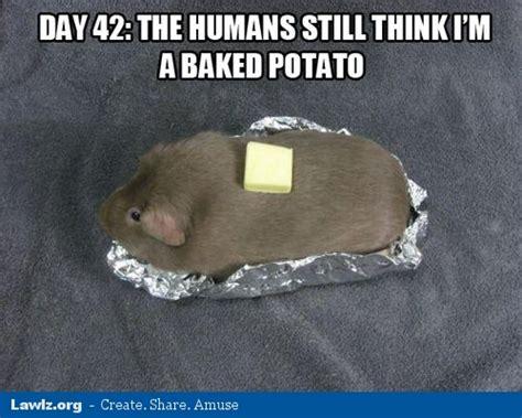 Shaved Guinea Pig Meme - photos a meme that describes your guinea pig