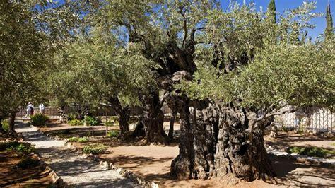 Garten Gethsemane Diese Olivenbäume Könnte Schon Jesus