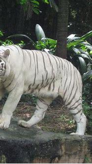 Life..!!: WHITE TIGERS
