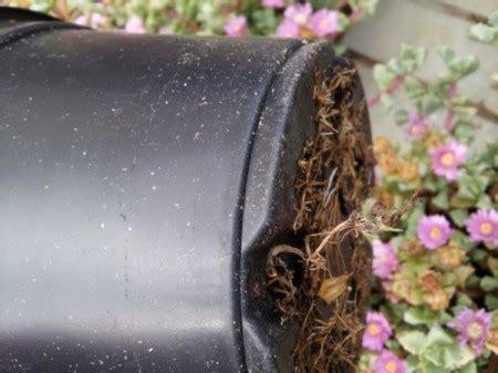 azalea coltivazione in vaso alcuni consigli per la coltivazione dell azalea guida