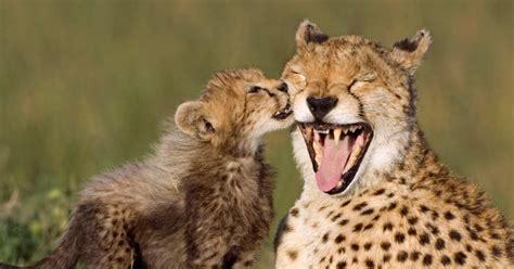 smiling cheetahs  adorable smiling animals ny