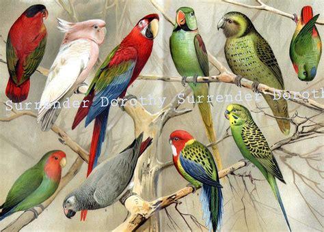 The Parrot Family 1887 Chromolithograph Illustration