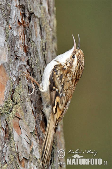 brown creeper photos brown creeper images nature