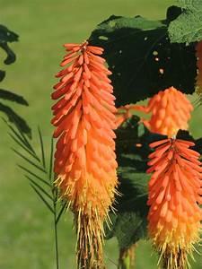 Fleur De Lys Plante : images gratuites la nature feuille fleur orange ~ Melissatoandfro.com Idées de Décoration