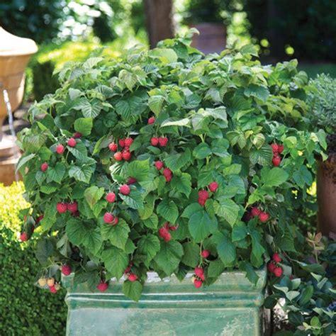 can raspberries be grown in containers bushel and berry raspberry shortcake plants stark bro s nurseries