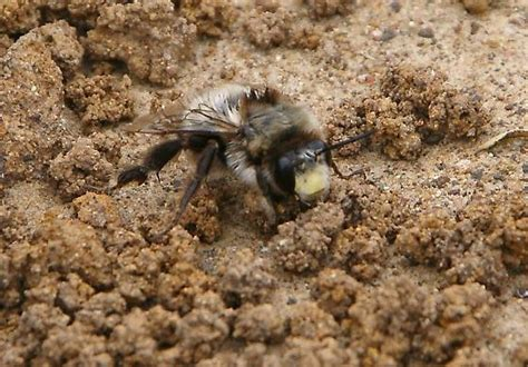 Ground-Burrowing Bumble Bees