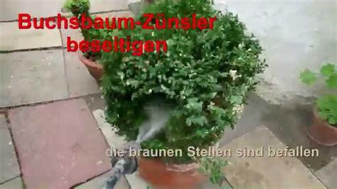Raupen Buchsbaum Bekämpfung by Buchsbaum Befall Bek 228 Mpfen