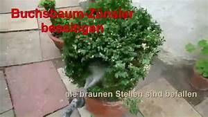 Buchsbaum Befall Raupen : buchsbaum befall bek mpfen youtube ~ Watch28wear.com Haus und Dekorationen