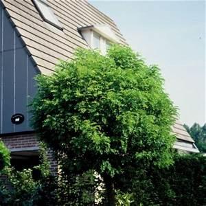 Schlanke Bäume Für Kleine Gärten : der baum zum haus garten pflanzen news green24 hilfe ~ Michelbontemps.com Haus und Dekorationen