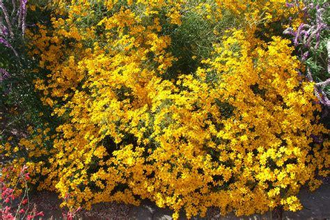 yellow flowering bushes yellow flowering shrub plantmaster blog