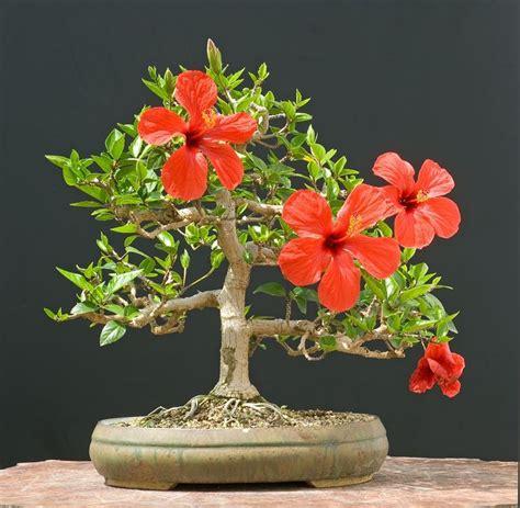 vendita vasi per bonsai bonsai hibiscus attrezzi e vasi per bonsai